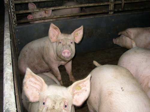 Factory farming (pigs)